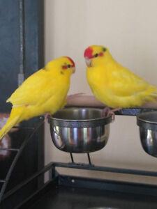 2  jeunes kakarikis toute jaune ( lutino )