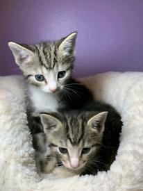 Stunning tabby kittens for sale