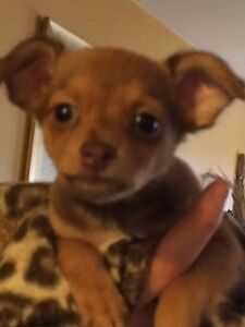 (Rare Opportunity) Russian Toy Terrier Cross Puppies