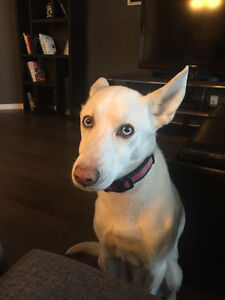 Molly - Husky/Greyhound