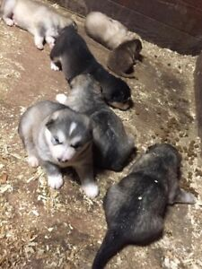 Beautiful Grey Giant Alaskan Malamutes FOR SALE