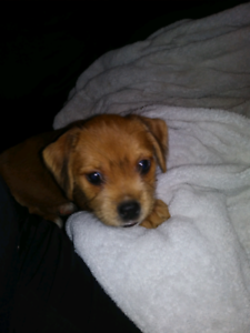 IF AD IS UP SHES AVAILABLE  Beautiful female Pug/Schnauzer puppy