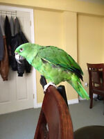 Baby amazon parrot yellow naped bird for sell