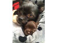 Shitzu X chihuahua puppies