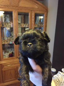 2 Miniature Shih Tuz puppies FOR SALE