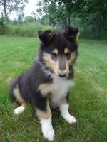 CKC Registered Rough and Smooth Coated Collies