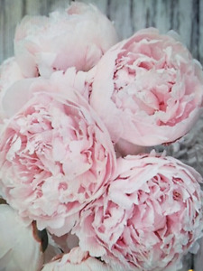 Wanted peonies