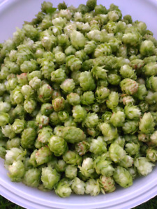 Fresh Cascade Hops