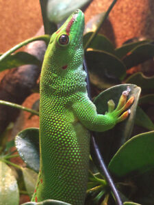 Male Madagascar Giant Day Gecko for sale or trade