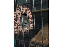 2 female chinchillas and large cage