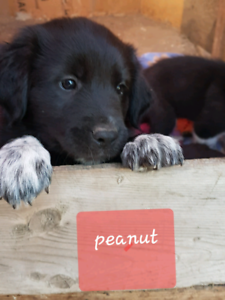 Pyrenees Border Collie puppies