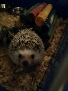 Female hedgehog + cage + wheel + other necessities