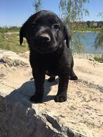 3/4 Black Lab Puppy - LAST FEMALE - Shots, Deworming, Puppy Pack
