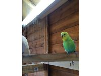 2 baby budgies for sale
