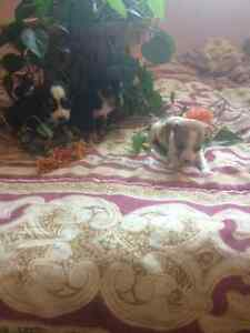 Very beautiful small pure bred chihuahua puppies