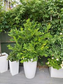 Magnolia stellata bush/tree