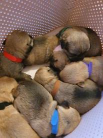 Chishi puppys
