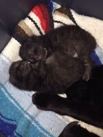 Four gorgeous Manx kittens for sale