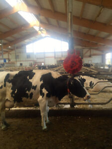 DAIRY FARM, QUOTA 120 KG  ROBOTIZED