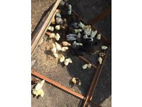 Chickens hens cockerels Pullets for sale