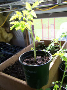 about 12 inches big yellow tomatoes plants $2 each