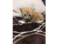 Lovely ginger kittens available!!! Females !!!