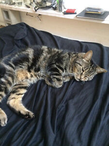 Found cat in plateau/mile end