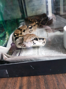 5ft boa male ( just the snake)