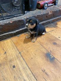 Daxijac boy puppy x1
