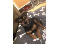 Lovely natures Min Pin X Chihuahua dog (male)