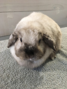 Purebred Holland Lop Senior Available