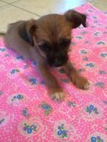 Gorgeous Yorkshire Terrier X Baby Reduced to go!