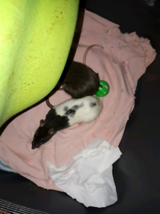 2 rats for sale