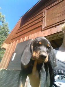 Coonhound | Kijiji in Ontario  - Buy, Sell & Save with
