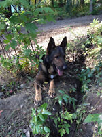 GSD In Need Of A New Home & Family (Acreage Preferred)