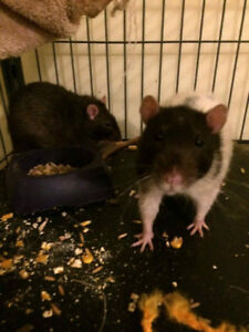2 Friendly Rats (FREE) to a good home