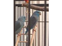 Blue Parrot lets