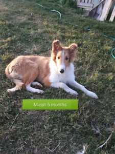ROUGH COLLIE YOUNGSTER