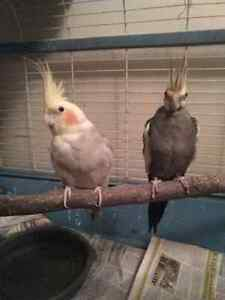Pair of Cockatiel