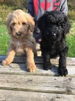 F1b Golden doodle puppies