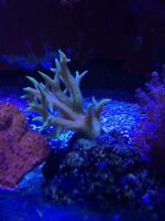 Birds nest coral for sale sps