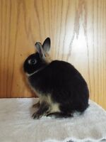 5 pure bred netherland dwarf rabbit for sale.