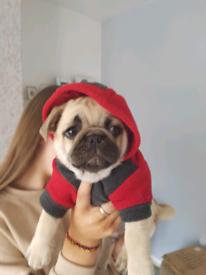 Pug in Devon | Dogs & Puppies for Sale - Gumtree