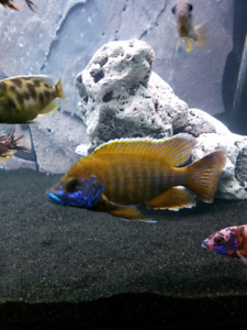 """Male Full grown peacock cichlid 5""""-6"""""""