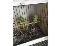 Beautiful green ringnecks talking parrot
