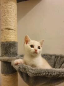 Ready Now British Shorthair Kittens