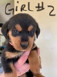Rottweiler Puppies! Ready now! One girl left!