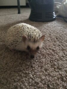 URGENT need to sell. ADORABLE HEDGEHOG WITH COMPLETE SET UP