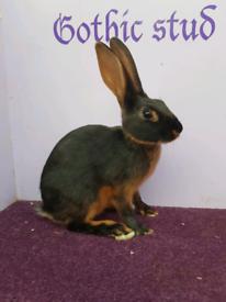 Vaccinated blk/tan Baby Belgian hare buck
