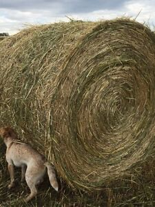 Green feed hay for sale